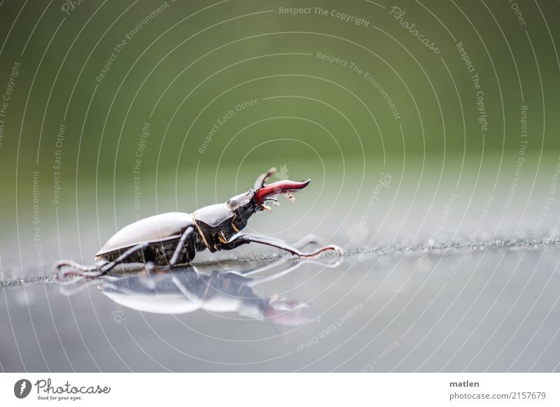 Gigant Tier Käfer 1 laufen braun grau grün rot Hirschkäfer Farbfoto Außenaufnahme Makroaufnahme Menschenleer Textfreiraum links Textfreiraum rechts
