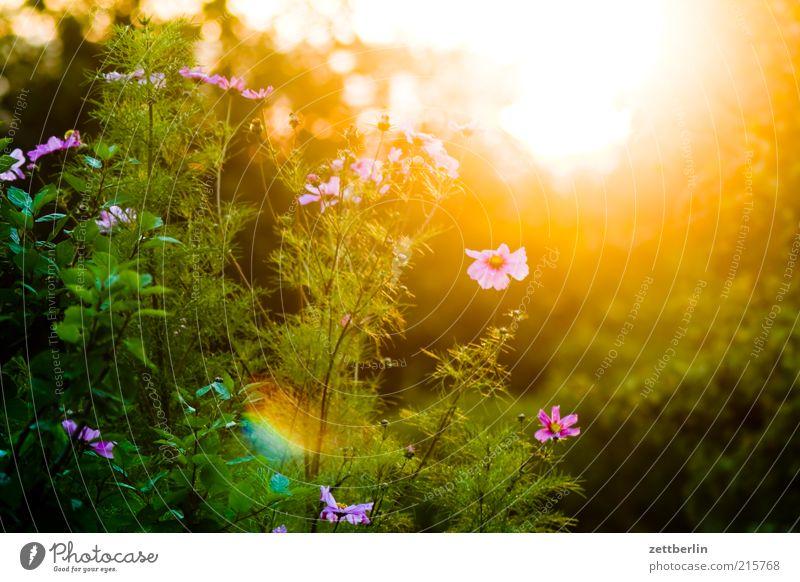 Cosmea Natur Sonne Blume Pflanze Sommer Blüte Landschaft rosa Sträucher Blühend Schönes Wetter blenden Sonnenuntergang grell Gegenlicht Schmuckkörbchen