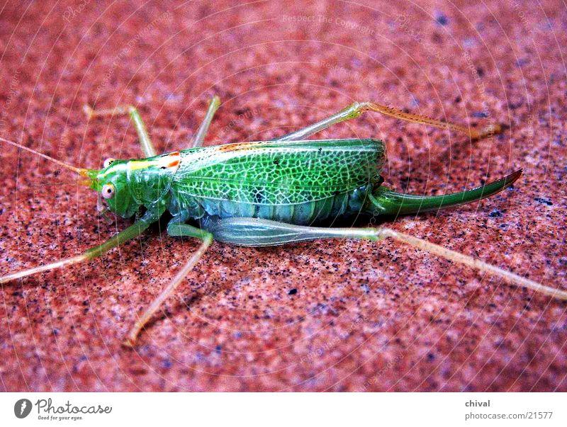 Heuschrecke grün rot grell anschaulich