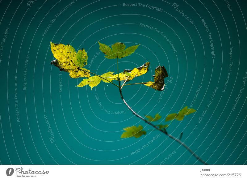 Loslassen Pflanze Blatt alt blau gelb grün herbstlich Zweig Farbfoto mehrfarbig Außenaufnahme Detailaufnahme Tag Sonnenlicht Schwache Tiefenschärfe