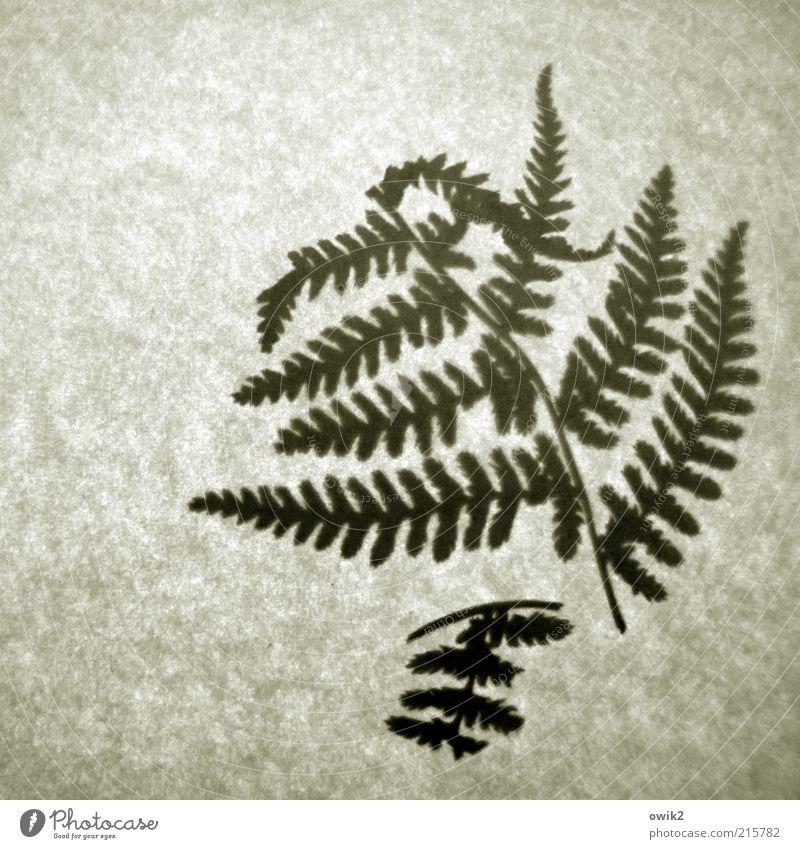 Alter Farn alt Pflanze Blatt klein kaputt einfach dünn trocken historisch gebrochen Zweig zerbrechlich Farn Zeit Experiment winzig