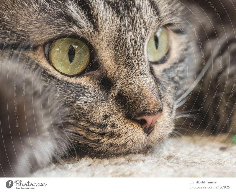 Relax Katze grün Erholung Tier ruhig Umwelt grau braun Häusliches Leben Zufriedenheit beobachten Sauberkeit nah Haustier Vertrauen Fell