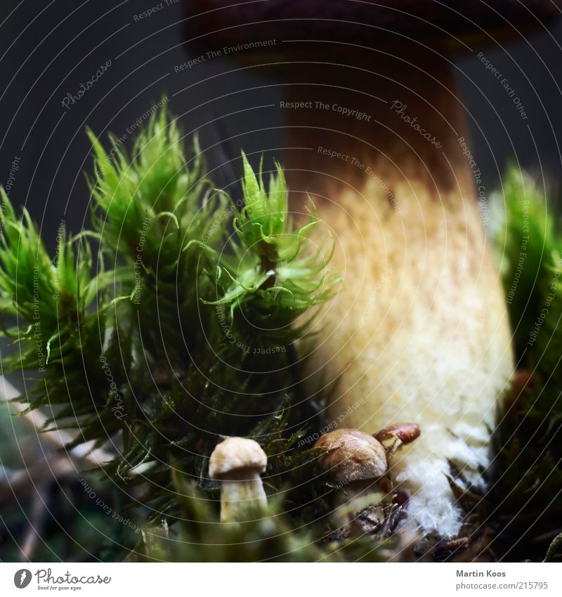 Kleine Mahlzeit Natur Pflanze Umwelt klein groß frisch Wachstum Moos Pilz Waldboden Pilzhut heimisch Makroaufnahme Steinpilze Maronenröhrling Größenunterschied