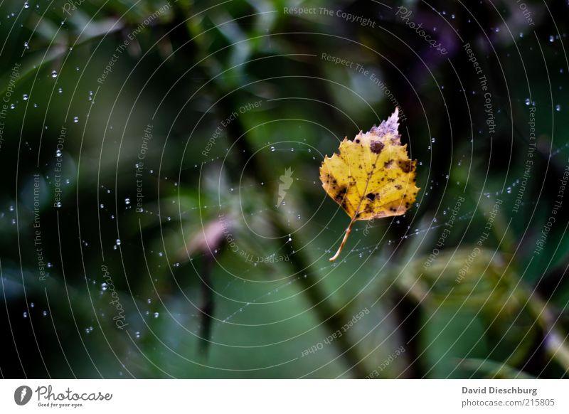 Den Herbst festhalten... Natur Pflanze Wasser Wassertropfen Regen Blatt gelb grün Spinnennetz hängen Herbstlaub herbstlich Herbstfärbung Herbstbeginn Farbfoto