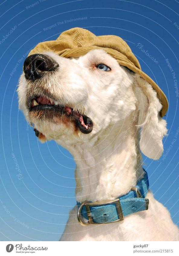 Ein etwas anderer Wachhund weiß Tier Hund Mode Coolness Tiergesicht beobachten einzigartig Fell Neugier hören entdecken Hut niedlich Freundlichkeit Mütze