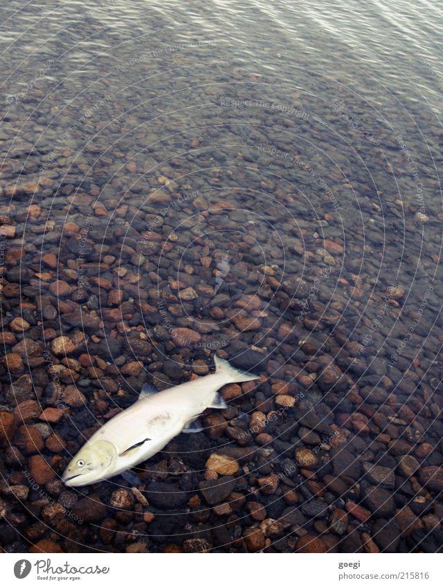 angekommen Umwelt Natur Tier Wasser Seeufer Shuswap Lake Kanada Amerika Totes Tier Fisch Lachs 1 alt Ekel nass Tod Intuition Orientierung Lebensziel Farbfoto