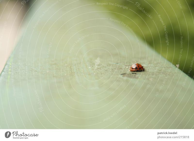 [HH01] ohne Titel Umwelt Tier Wildtier Käfer Marienkäfer krabbeln Unschärfe Punkt Insekt Farbfoto Gedeckte Farben Außenaufnahme Nahaufnahme Textfreiraum links