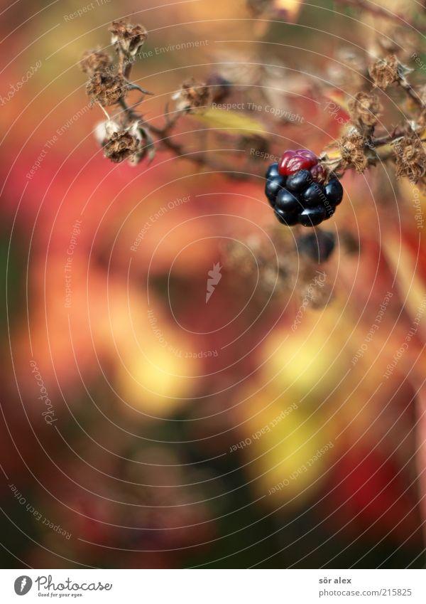 bramble Natur Pflanze rot schwarz gelb braun Lebensmittel Frucht süß Wachstum Sträucher Blühend lecker reif Ernte Vitamin