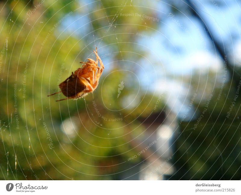 oragnenes Krabbeln Natur Schönes Wetter Sträucher Wildtier Spinne Spinnennetz bedrohlich dick Ekel gruselig klein blau braun grün rot Wahrheit hängend Beine