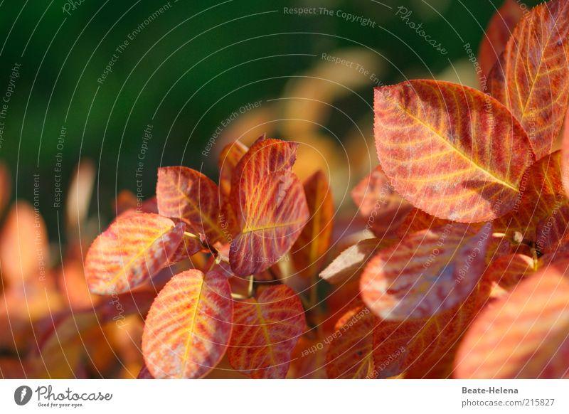 Verwandlungskünstler Felsenbirne Natur schön grün Pflanze Blatt gelb Herbst Stimmung braun gold ästhetisch Sträucher Freizeit & Hobby außergewöhnlich Blühend