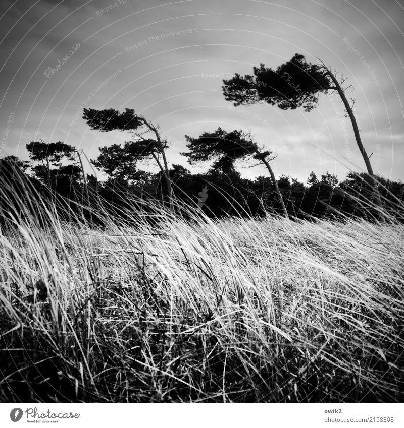 Westliche Winde Umwelt Natur Landschaft Pflanze Wolken Gewitterwolken Horizont Herbst Klima Unwetter Sturm Baum Gras Sträucher Windflüchter Wald Weststrand