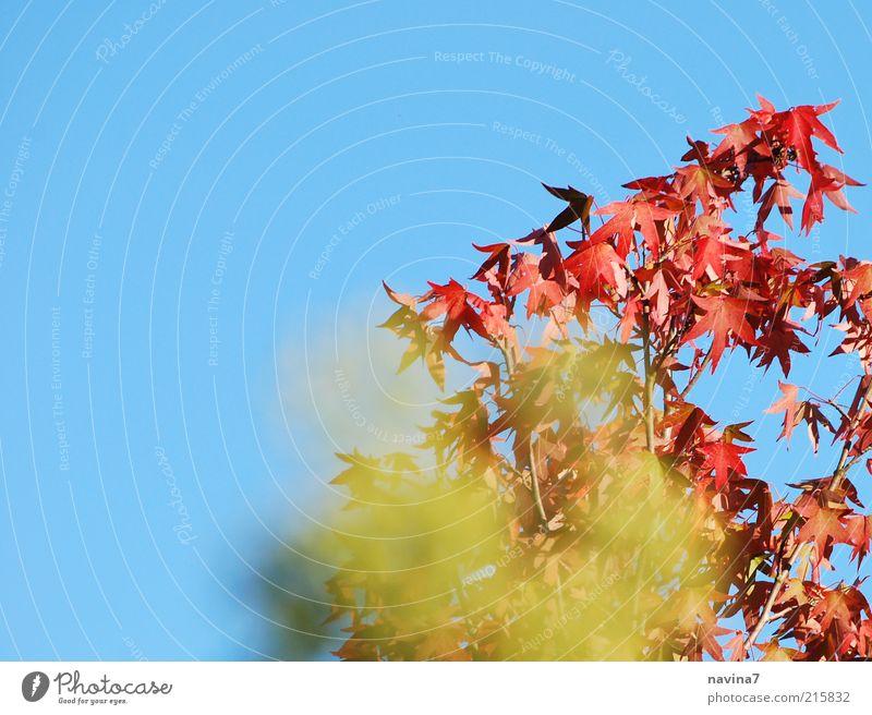 feuriger Herbst Natur Baum grün Pflanze rot ruhig Blatt Erholung Herbst Landschaft Kraft Wetter Umwelt Schönes Wetter exotisch Blauer Himmel