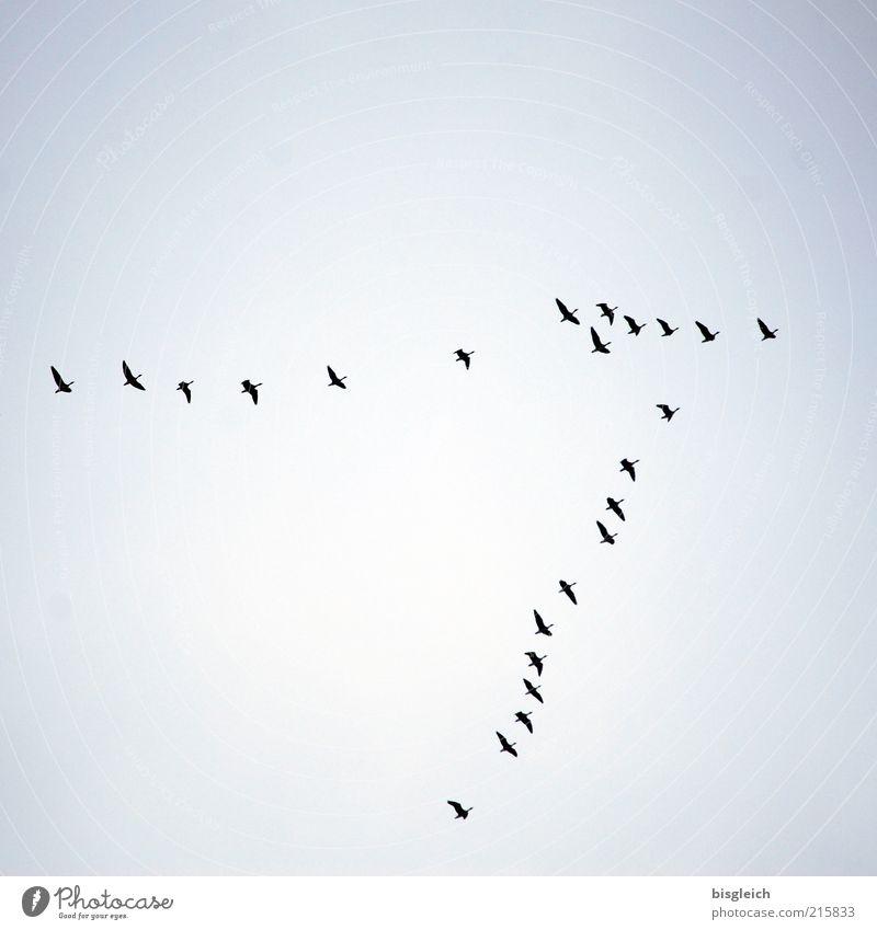 südwärts Wildtier Vogel Schwarm fliegen blau Sehnsucht Fernweh Vogelschwarm Süden Himmel Ferne Farbfoto Gedeckte Farben Außenaufnahme Textfreiraum oben Tag