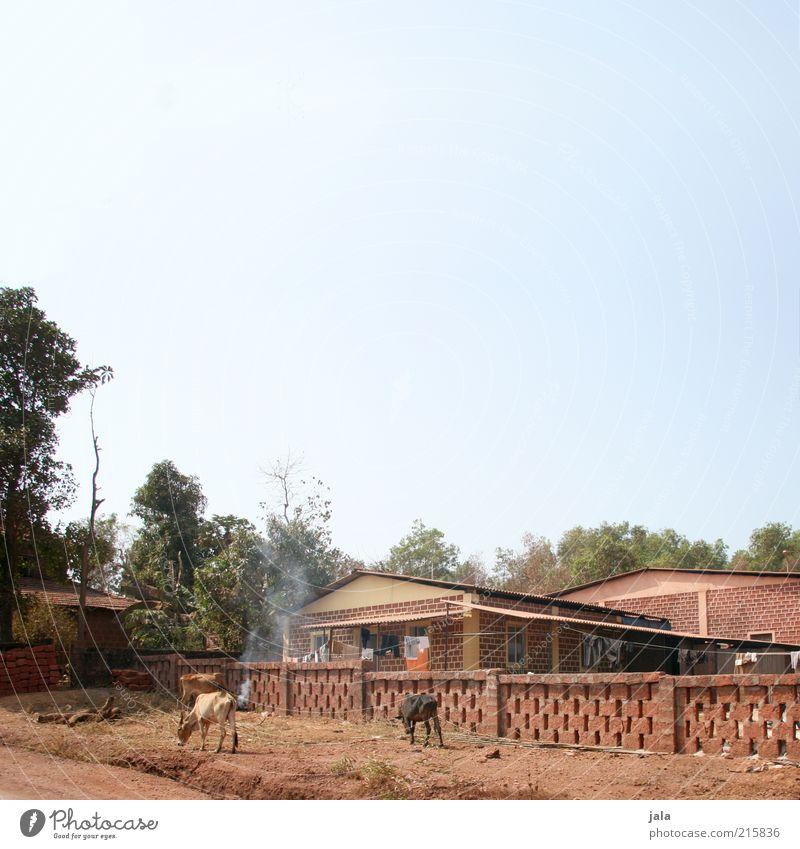 das leben der anderen Himmel Baum Indien Goa Asien Haus Bauwerk Gebäude Kuh trist trocken Farbfoto Außenaufnahme Menschenleer Textfreiraum oben