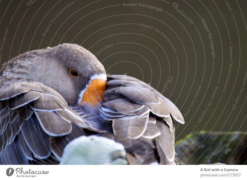 mittagsschlaf am morgen schön Tier grau orange Zufriedenheit Feder Flügel Vogel Müdigkeit verstecken Schnabel Schüchternheit Gans Nutztier ruhen Trägheit
