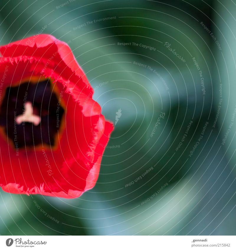 Liliengewächs Natur Blume grün Pflanze rot Blüte Frühling frisch weich Blühend Tulpe Symmetrie