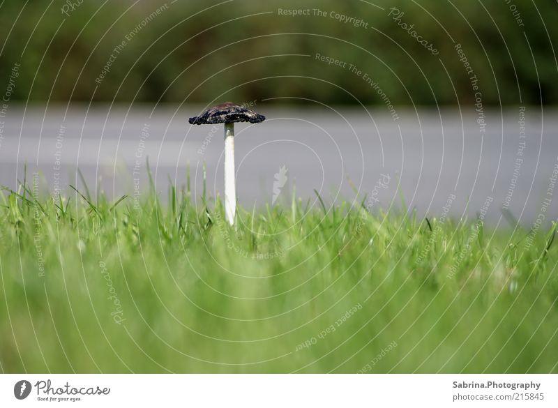 Ein Pilzlein steht am Straßenrand Natur schön grün Einsamkeit Herbst Gras grau braun Lebensmittel Umwelt verrückt Hoffnung Wachstum authentisch beobachten