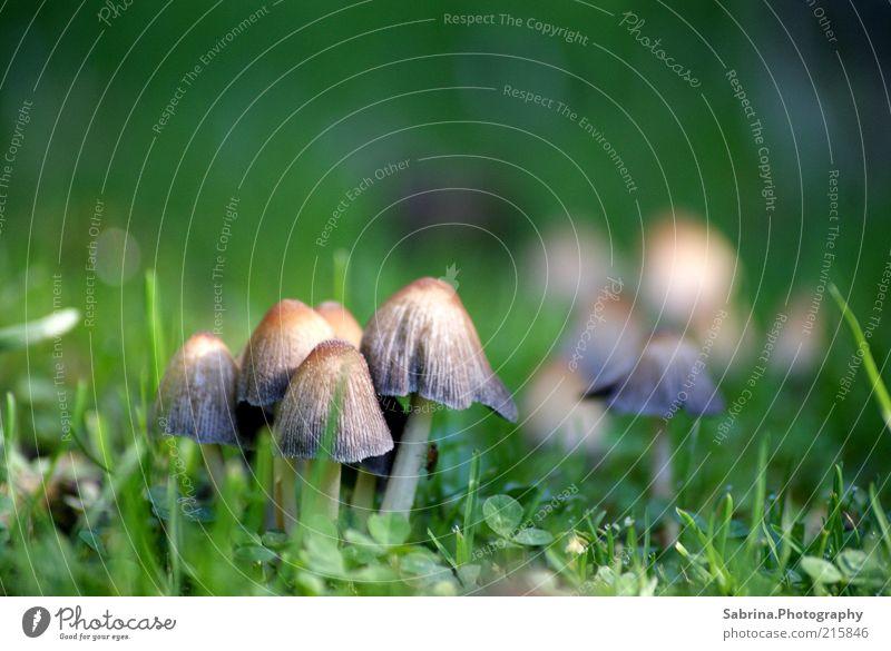 Pilzkommune Natur schön Erholung Umwelt Wiese Herbst Gras außergewöhnlich wild Lebensmittel Freizeit & Hobby frei Wachstum authentisch Urelemente Schönes Wetter