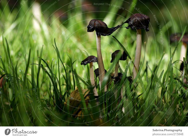 Siamesische Pilzzwillinge Natur Umwelt Herbst Gras Lebensmittel Wachstum Zusammenhalt Gemüse stark Bioprodukte Verbindung Treue Wildpflanze standhaft Pilzhut Pilz