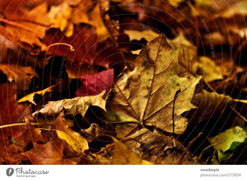 Bunte Herbstwelt Natur alt Blatt Erde elegant authentisch dünn Vergangenheit Verfall Herbstlaub verlieren Herbstfärbung Grünpflanze Wildpflanze