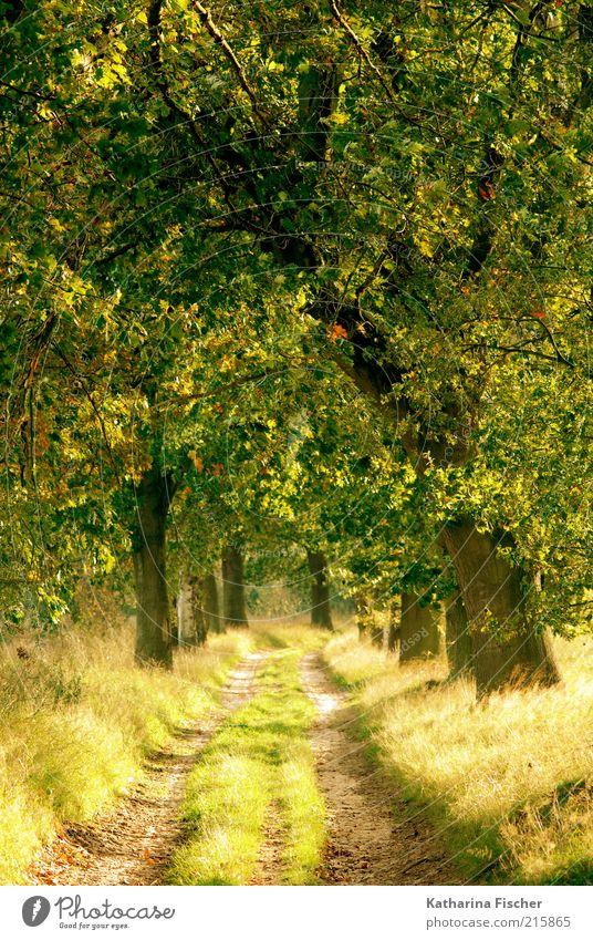 Goldener Herbst Natur Landschaft Schönes Wetter Pflanze Baum Gras Blatt Grünpflanze Wald Wege & Pfade Holz leuchten braun gelb gold grün goldener Herbst Allee