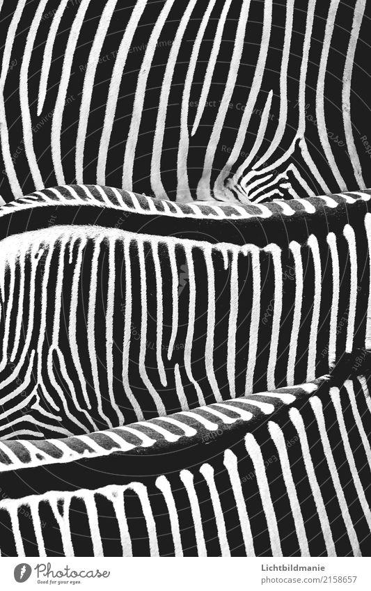 Rückgrat Stil Design Haare & Frisuren Ferien & Urlaub & Reisen Ausflug Safari Natur Tier Wildtier Zoo Zebra Zebrastreifen Fell Streifen Streifenpullover