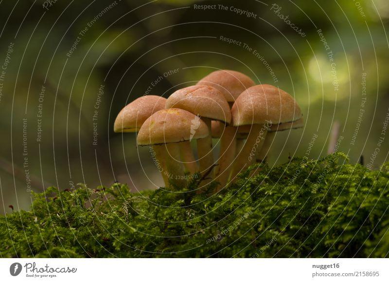 Herbstzeit Pilzzeit Umwelt Natur Pflanze Sommer Moos Stockschwämmchen Garten Park Wald authentisch lecker nah natürlich schön unten braun gelb grün orange