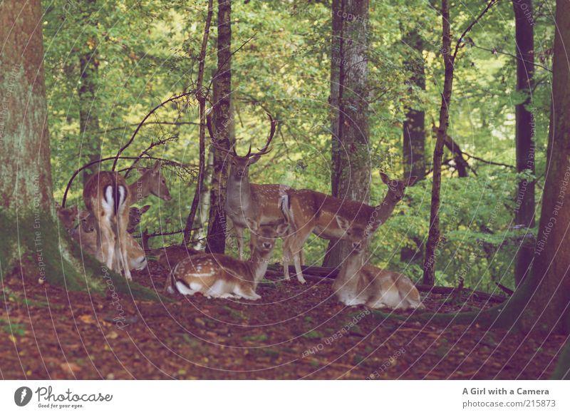 I've got all my sisters and me.... Natur grün schön Baum Pflanze Tier Wald Umwelt braun Zufriedenheit Wildtier elegant wild liegen stehen Tiergruppe