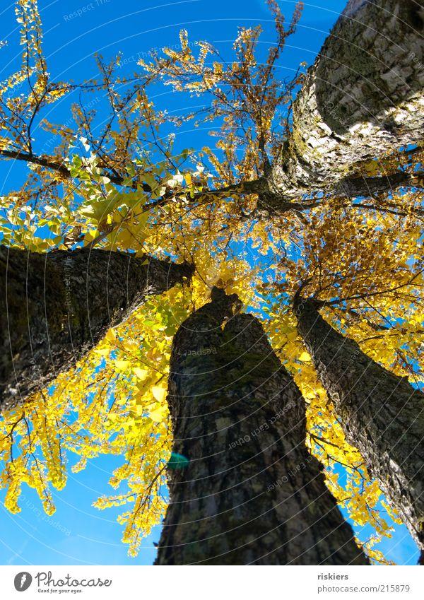 Giganten Natur Pflanze Baum Landschaft Blatt Wald Umwelt Herbst außergewöhnlich Stimmung hell Wachstum groß hoch Schönes Wetter nah