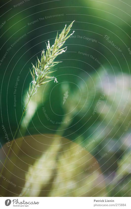 Heuschnupfenzeit Natur grün schön Pflanze Blatt Umwelt Gras Frühling Blüte Wachstum Blühend zart Pollen Grünpflanze sommerlich Blendenfleck
