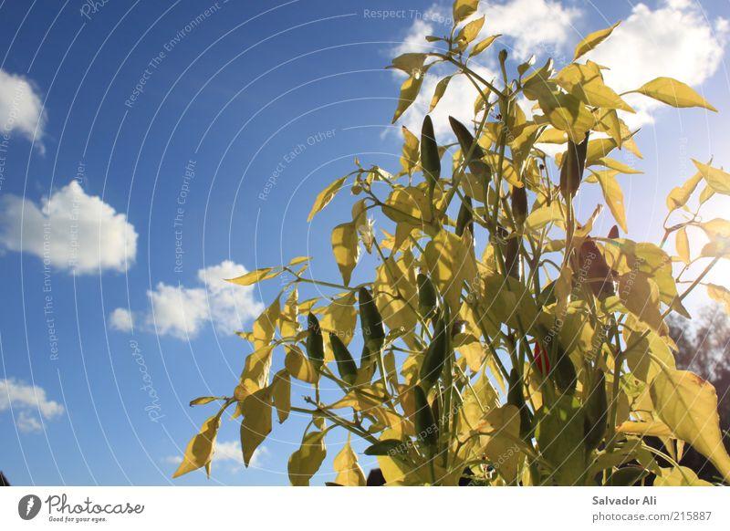 Chili in the Zitty Gemüse Natur Pflanze Luft Himmel Wolken Sonnenlicht Sommer Blatt Grünpflanze Nutzpflanze blau grün Umwelt Schote Wachstum Blattgrün Farbfoto