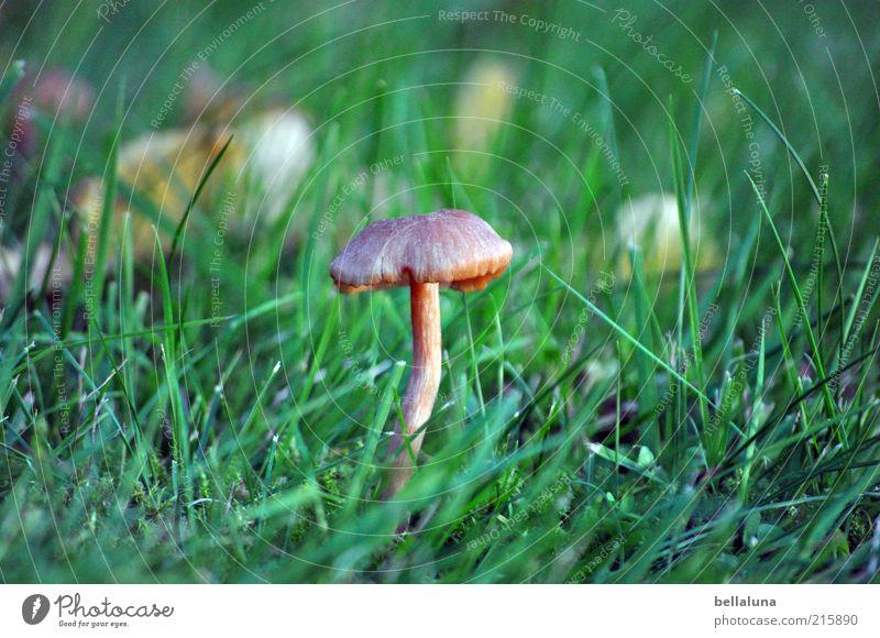 Mein Pilzbeitrag! Umwelt Natur Pflanze Gras Wildpflanze Wachstum Pilzhut bräunlich 1 Farbfoto Außenaufnahme Tag