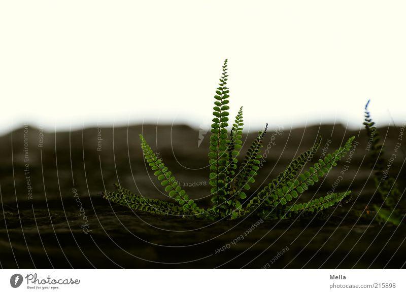 Der Farn der Zeit Natur Pflanze Blatt Kraft Umwelt Zeit Wachstum Ende Vergänglichkeit natürlich nachhaltig Farn Grünpflanze gedeihen