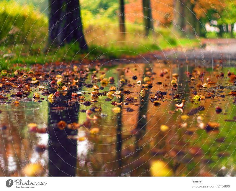 Kastanien Natur Landschaft Erde Wasser Wassertropfen Herbst Schönes Wetter schlechtes Wetter Regen Pflanze Baum Gras Park braun gelb grün Farbfoto Außenaufnahme
