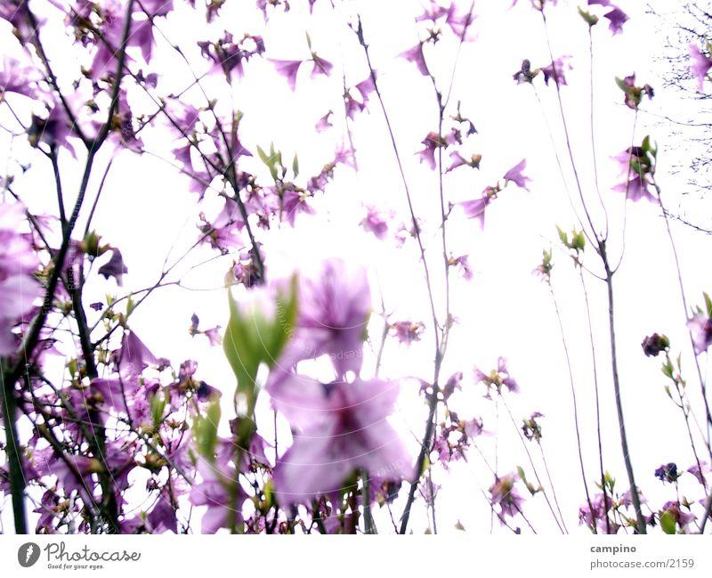 Spring Sensation Blüte Frühling Park rosa Sträucher violett