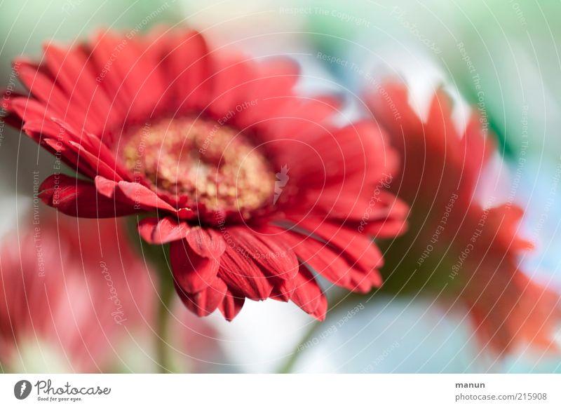 Gerbera Dekoration & Verzierung Natur Pflanze Blume Blüte Sommerblumen Blumenstrauß Blühend außergewöhnlich schön rosa rot ästhetisch Duft Farbfoto