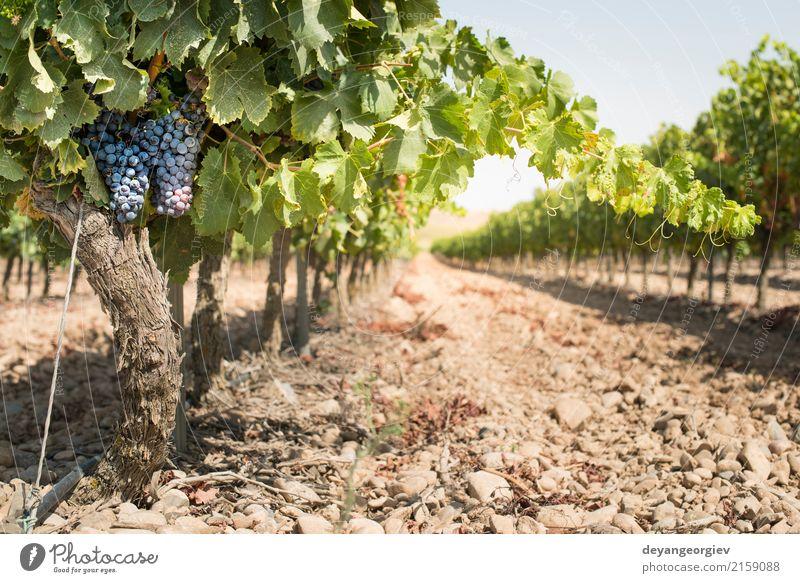 Rotwein Trauben Natur Pflanze blau rot Blatt Herbst Frucht Wachstum frisch Spanien Ernte ländlich Tal Weinberg Weintrauben purpur