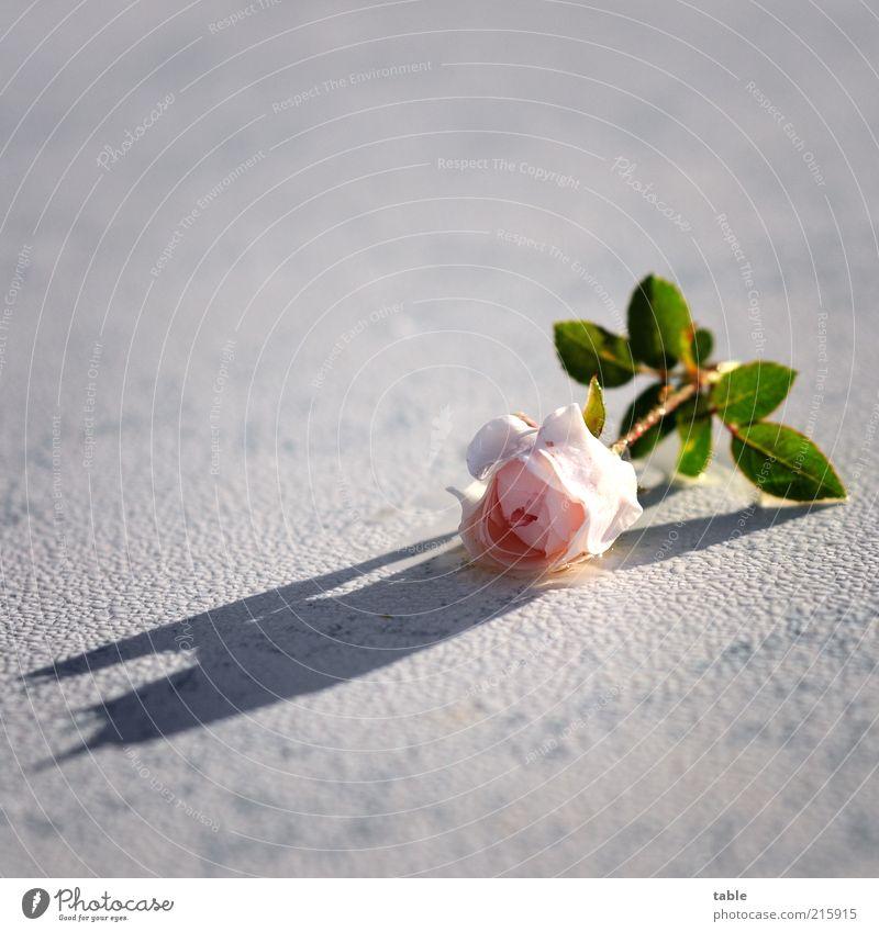 für Dich weiß Blume grün Pflanze Gefühle Blüte rosa nass Rose ästhetisch liegen einzigartig Duft feucht Tau Wasser