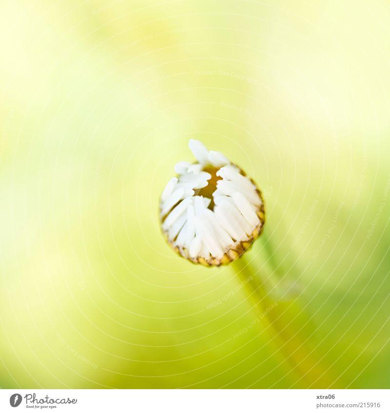 guten morgen Natur weiß Blume grün Pflanze Sommer gelb Blüte Frühling elegant Umwelt ästhetisch authentisch einfach natürlich Gänseblümchen