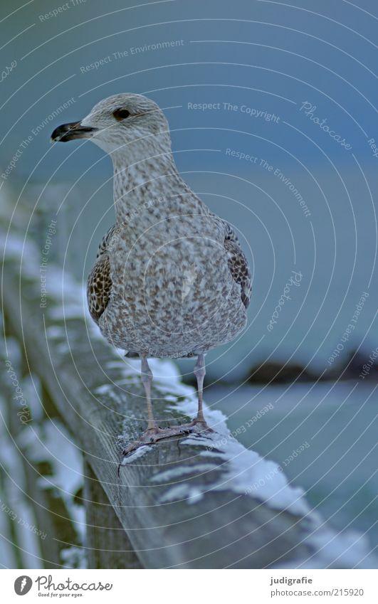 Möwe Umwelt Tier Winter Schnee Ostsee Meer Brücke Wildtier 1 beobachten stehen warten kalt niedlich wild blau Stimmung Leben Natur Stolz Silbermöwe Farbfoto