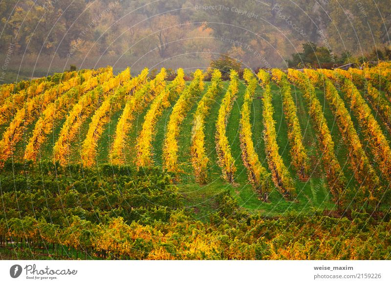 Panorama des Wachautales. Bunter Herbst in den Weinbergen Natur Pflanze grün Landschaft Baum Blatt Berge u. Gebirge gelb Garten Tourismus Frucht Feld Wachstum