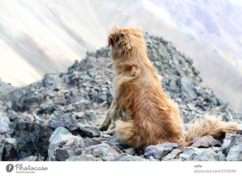 Kholeno Tier Hund 1 Erschöpfung Berge u. Gebirge Klettern Bergsteigen Iran Teheran Gipfel Felsen Stein Farbfoto Außenaufnahme Menschenleer Textfreiraum links