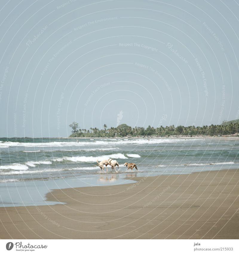 living in the wild Ferien & Urlaub & Reisen Abenteuer Sommer Strand Meer Wellen Natur Landschaft Himmel Pflanze Baum exotisch Palme Indien Asien Goa Tier Hund 3