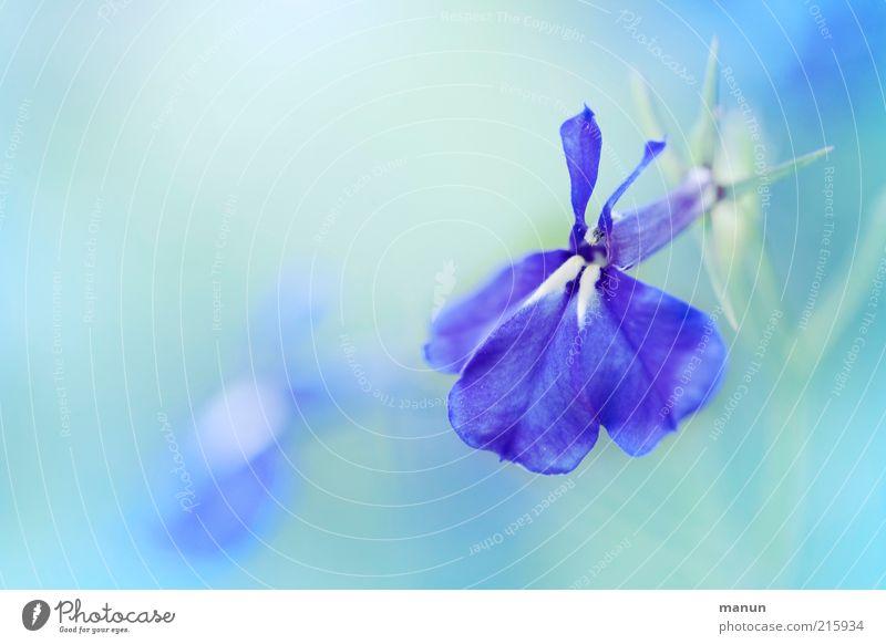 türkisblau Natur schön Blume blau Blüte Frühling elegant ästhetisch einzigartig fantastisch zart außergewöhnlich Blühend Duft türkis