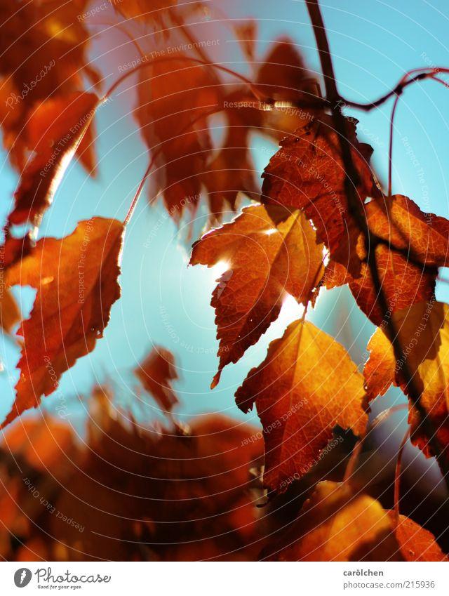 Heißer Herbst Umwelt Natur Sonnenlicht Pflanze Baum Blatt blau gelb gold Herbstlaub herbstlich Herbstfärbung Kupferbirne Kupfer-Felsenbirne Indian Summer