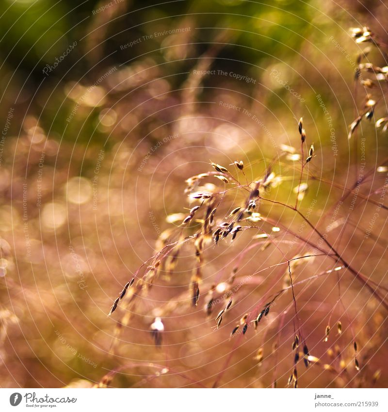 licht² Natur grün Pflanze Sommer gelb Wiese Gras Wärme braun Umwelt gold Schönes Wetter Licht Gräserblüte