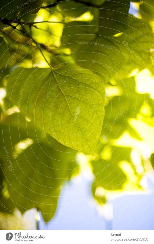 Blattgrün Umwelt Natur Pflanze Himmel Sonnenlicht Sommer Herbst Klima Schönes Wetter Wärme Baum Grünpflanze Wildpflanze Blühend hängen leuchten Wachstum hell