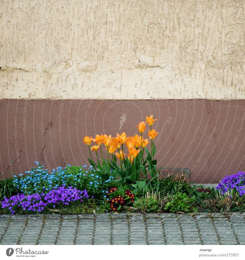 Jardin Häusliches Leben Garten Natur Pflanze Frühling Blumenbeet Mauer Wand Blühend Wachstum Duft schön blau mehrfarbig Gefühle orange Farbfoto Außenaufnahme