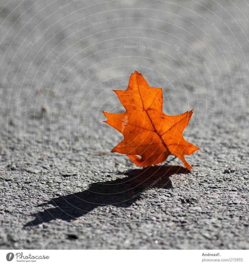 Der Herbst wirft seine Schatten voraus Natur Pflanze Blatt Straße Wege & Pfade gelb rot Herbstlaub Eiche Eichenblatt orange Asphalt Schattenseite grau