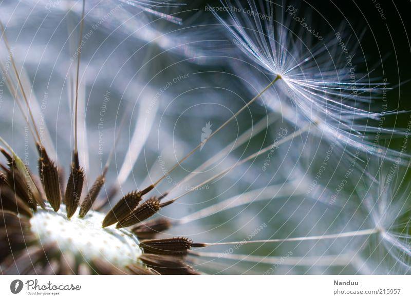 Pustekuchen Natur Pflanze Umwelt ästhetisch Blume Vergänglichkeit zart Löwenzahn Samen Leichtigkeit Pollen zerbrechlich Makroaufnahme Fortpflanzung